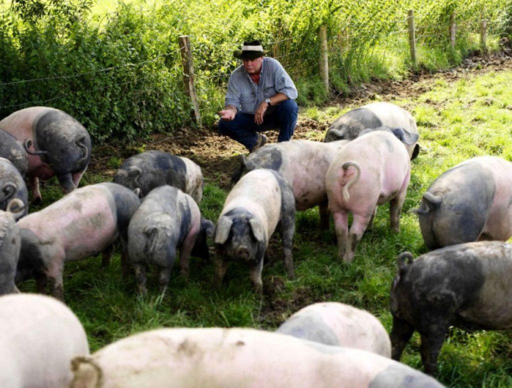 Rudolf Bühler lockt haellische Schweine auf der Weide