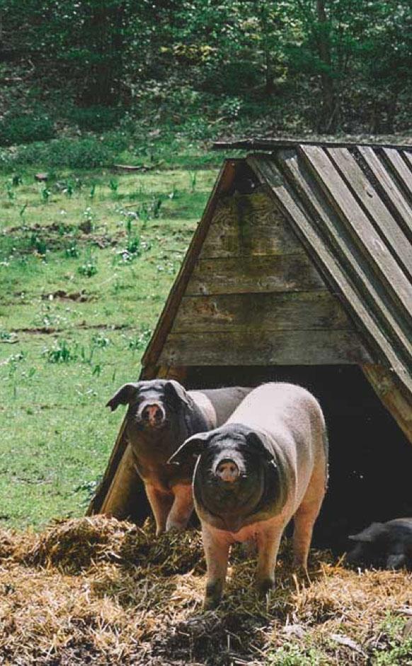 2 Mastschweine der Landrasse stehen vor der Sutzhütte auf der Weide