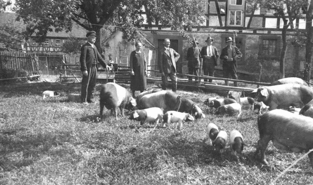 historisches Foto mit schwäbisch hällischen Schweinen im Vordergrund und den Bauern im Hintergrund