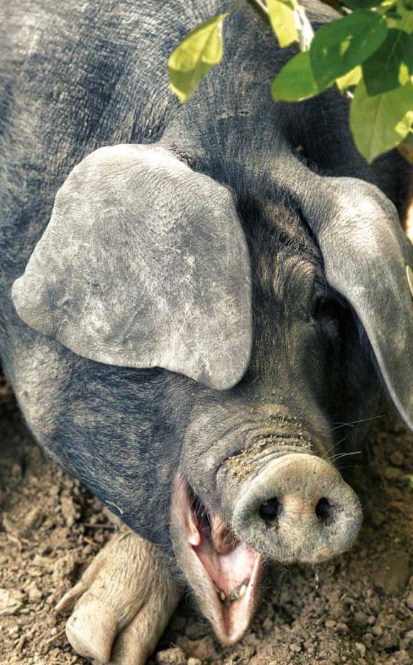 Porträtfoto vom Liegenden Schwein mit offenem Maul