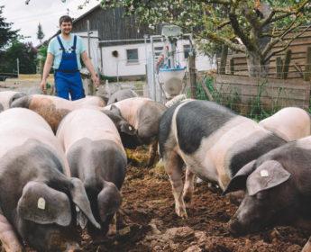 Herr Brenner treibt Schweine auf die Weide