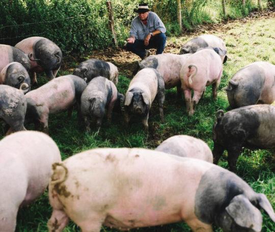 Rudolf Bühler lockt Weideschweine