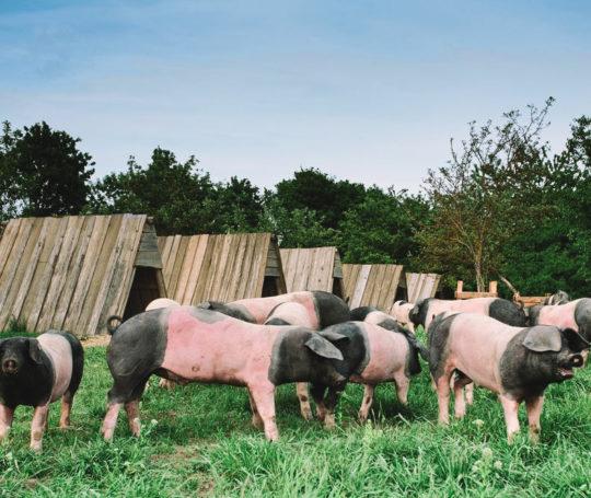 Weideschweine mit Schutzhütten und saftigem Gras