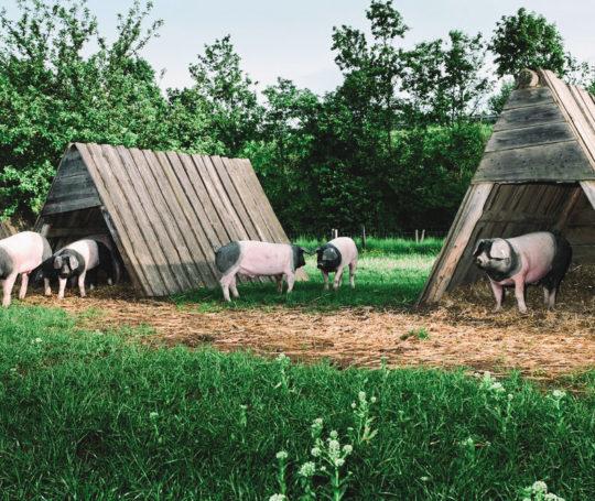 Mastschweine der schwäbisch hällischen in Schutzhütten auf der Weide