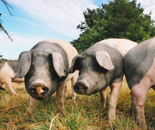 Schwäbisch Hällische Eichelmast Schweine auf Weide