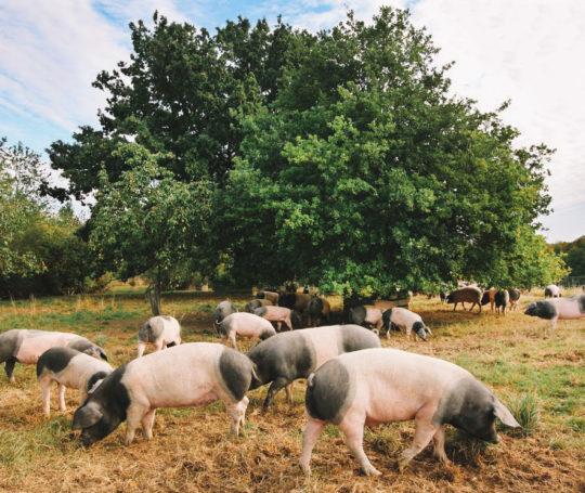 Eichelmast: Hällische Schweine im Sommer auf der Eichenweide