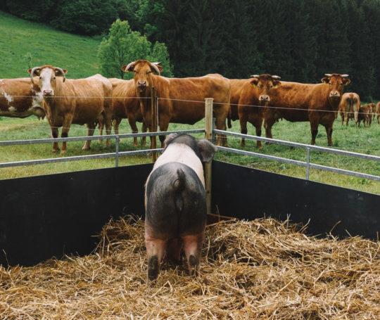 Hohenloher Vieh Schwein beobachtet Boeuf de Hohenlohe
