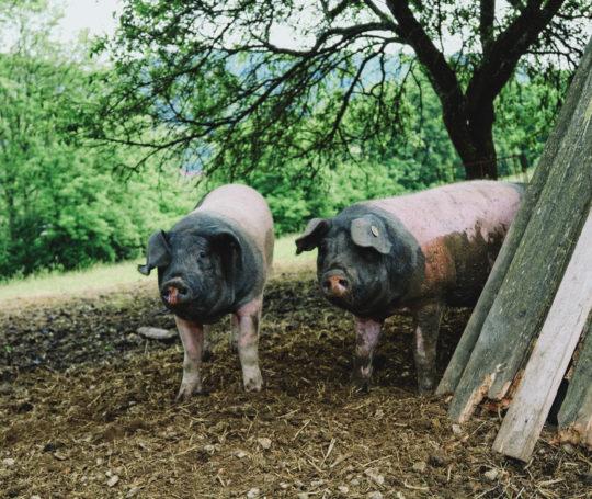 Zwei Mastschweine der alten Landrasse auf der Weide