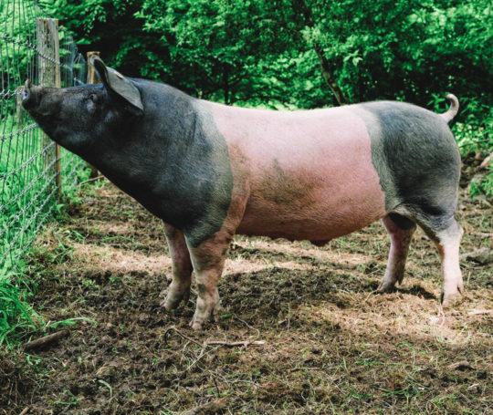 Am Zaun steht Schwaebisch Haellisches Mastschwein auf der Weide am Zaun