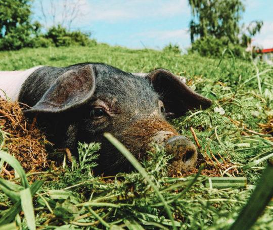 Hällisches Ferkel mit Erde auf dem Nasenrücken liegt auf der Weide