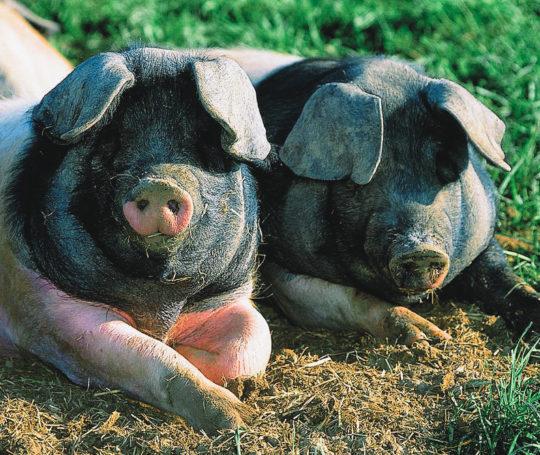 Schwäbisch Hällisches Schweinepärchen liegt auf der Wiese
