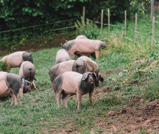 Viele Hällische Weideschweine erkunden die Wiese