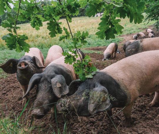 Schwäbisch Hällische Schweine und Eicheln auf der Weide