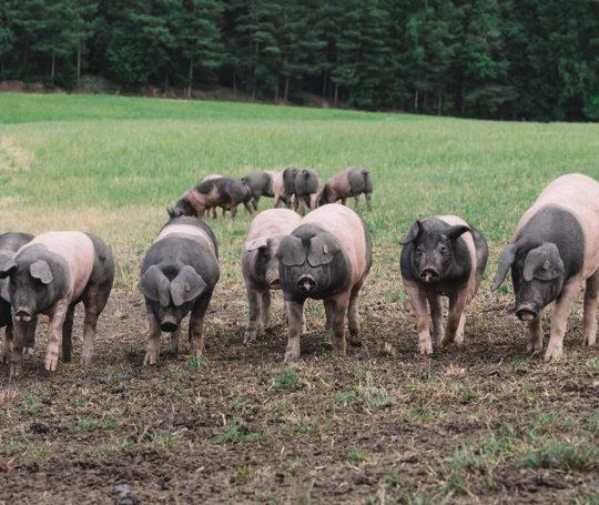 Hällische Schweinebande läuft in einer Reihe über die Weide