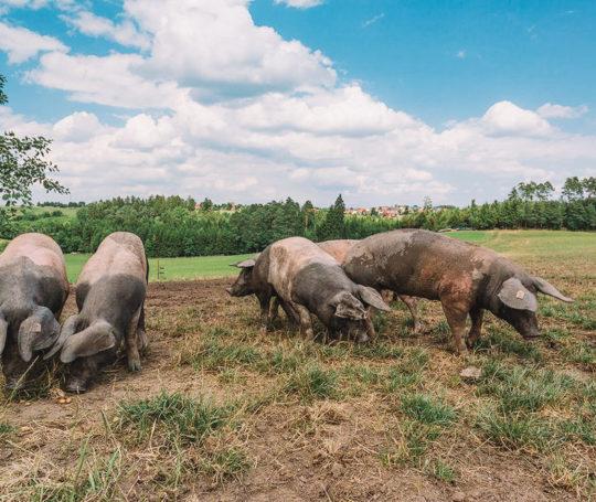 Schweine auf der Weide in Hohenlohe