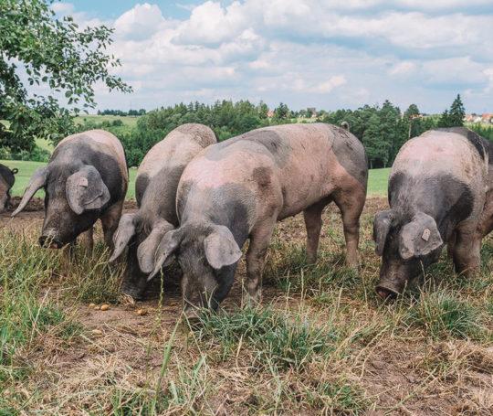 Schweine erkunden die Weide