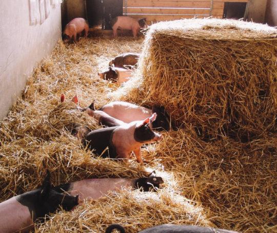 kleine Schweine bzw. Absetzferkel in Tief Stroh Bucht
