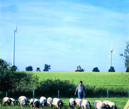 Rudolf Bühler treibt Hällische Mast Schweine auf der Weide