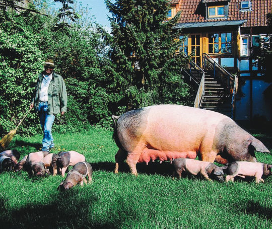 Rudolf Bühler mit Muttersau und Ferkeln hinter dem Haus