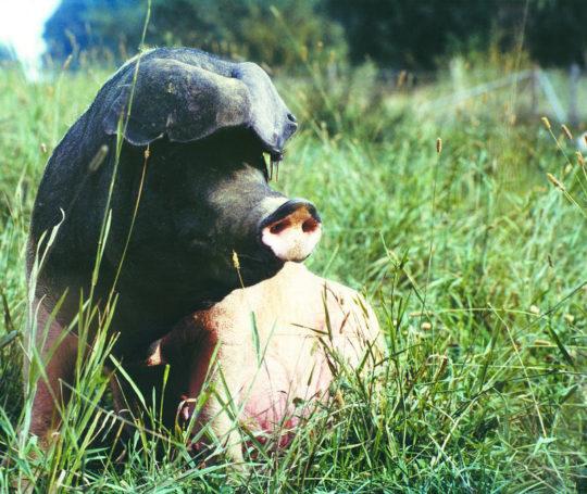 Alte Landrasse auf der Schweineweide