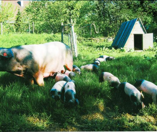 haellische Mutterau mit Ferkeln auf der Weide mit Schutzhütte.