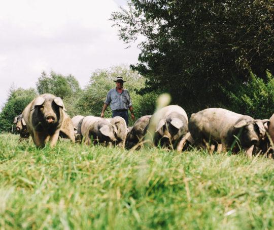 Rudolf Bühler treibt Mastschweine auf der Weise
