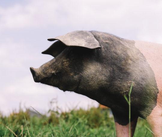 Hällisches Weideschwein blickt in die Ferne