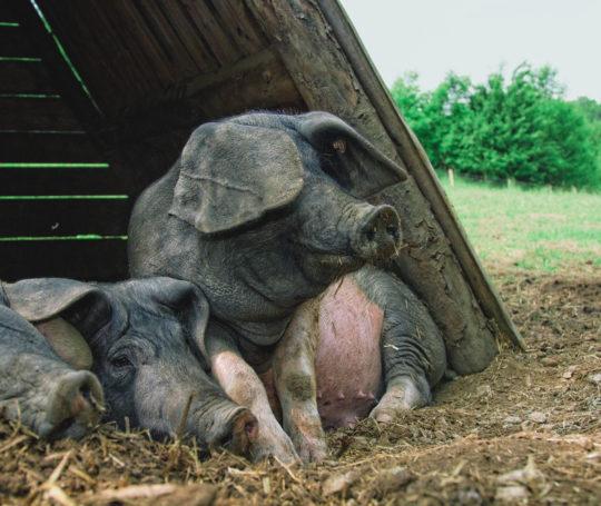 3 hällische Mastschweine in der Schutzhütte