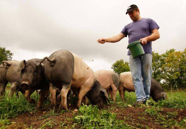 Klaus Memmler streut seinen Weideschweinen Pellets hin