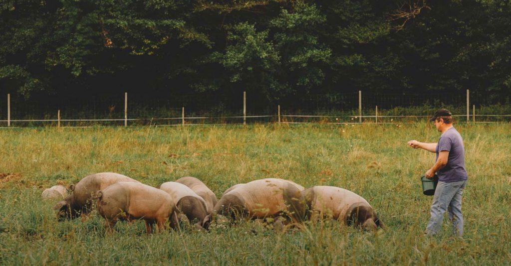 Ein Bauer lockt die Weideschweine mit Futter