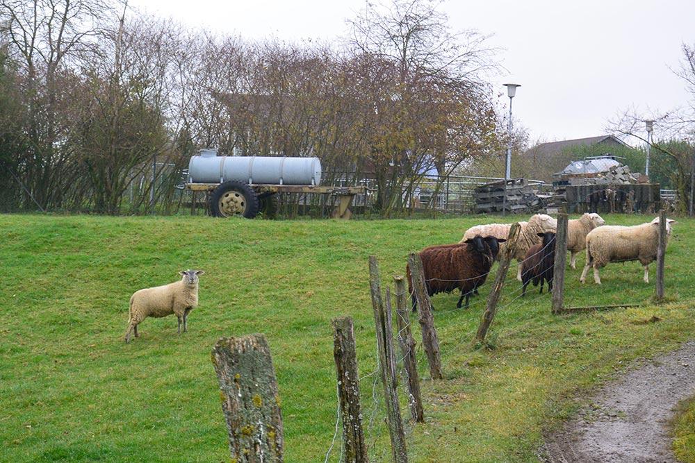 Schafe auf der Weide bei Klaus Dechent