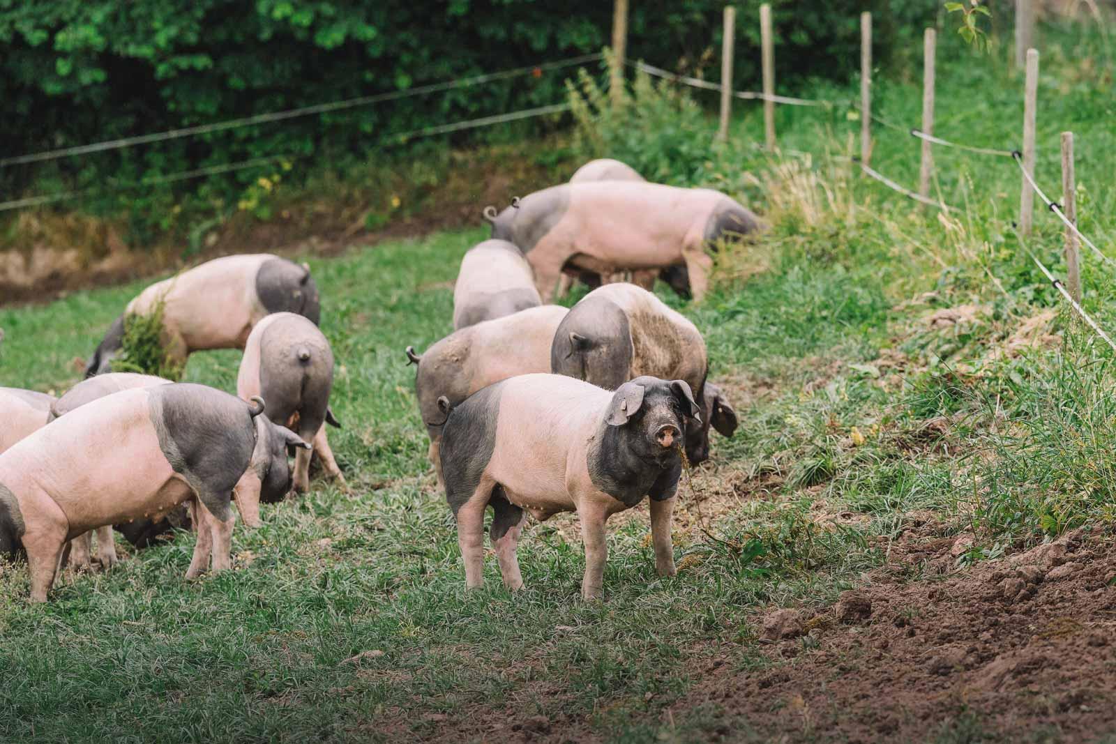 viele Schweine auf der Weide
