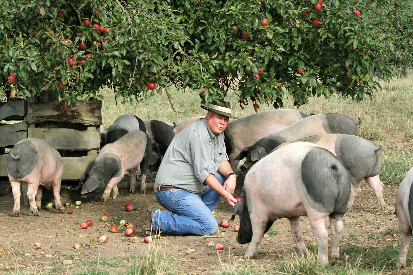 Rudolf Bühler umringt von Schweinen unter einem Apfelbaum