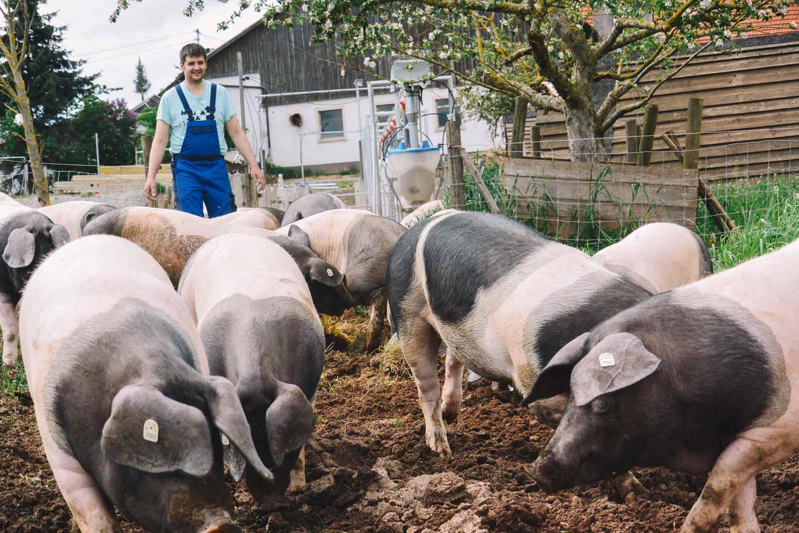 Schwaebisch Haellische Schweine auf der Weide