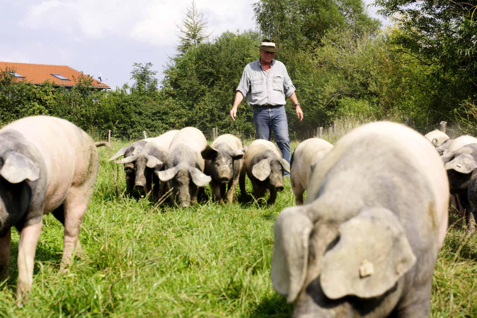 Bühler treibt Weideschweine