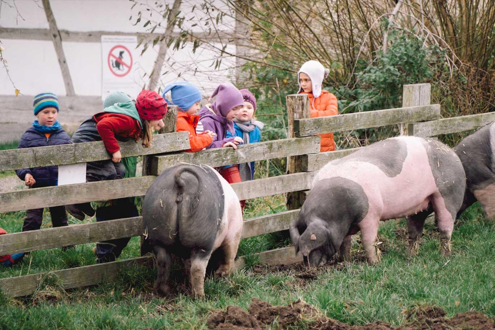 Kindergartenkinder bestaunen schwäbisch-hällische Weideschweine