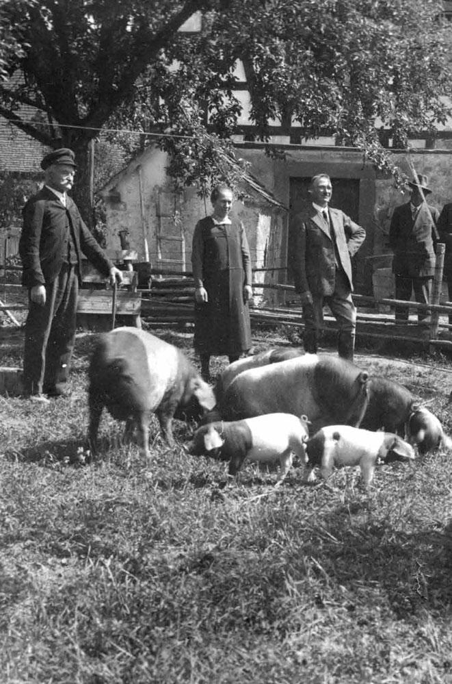 historisches Foto; Bauern stehen um ihre Schwäbisch Hällischen Sauen mit Ferkeln im Hof eines Bauernhofes
