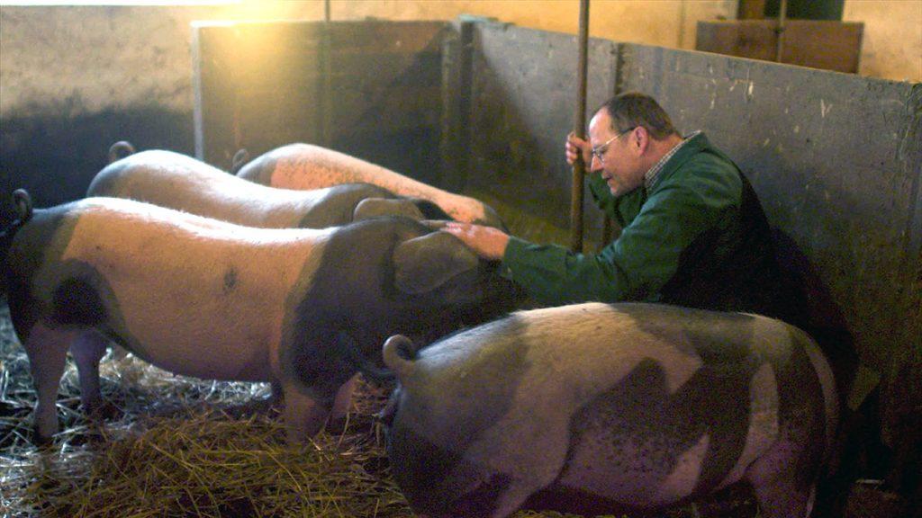 Zuchterfolg: Klaus Dechent räumt bei der Zuchtschau der Schwäbisch-Hällischen in Wolpertshausen ab