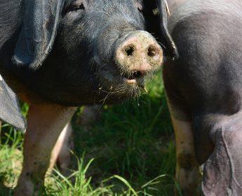 Portrait vom Schwäbisch Hällischen kauenden Schwein auf der Wiese