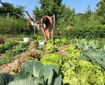 Birgit Eberhardt erntet in ihrem Bauerngarten Salat