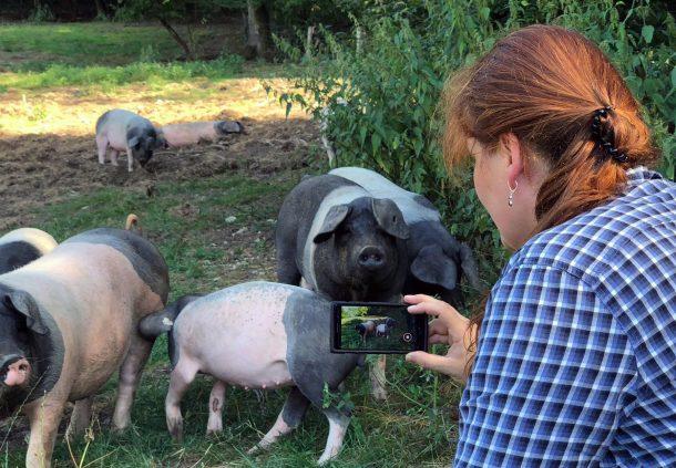 Bettina Zwicker beobachtet mit der Kamera die Schwäbisch-Hällischen Mastschweine auf der Weide.