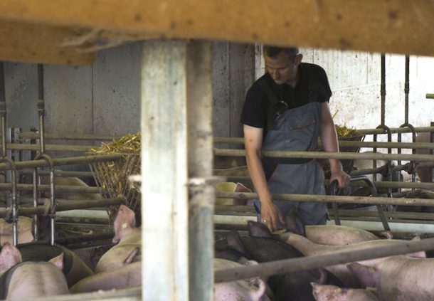 Karl-Matthias Wirth bei den Schwäbisch-Hällischen Schweinen im Maststall