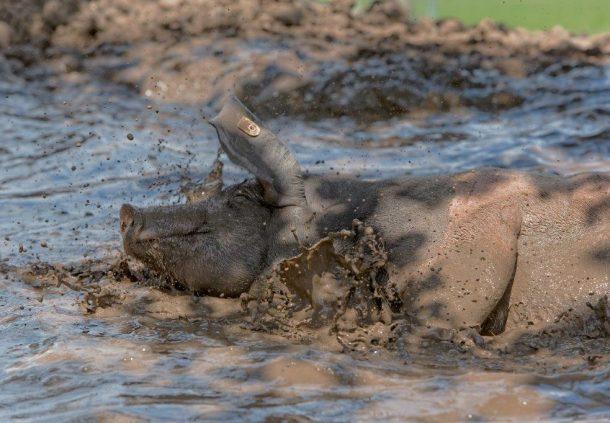 Weideschwein im Glück