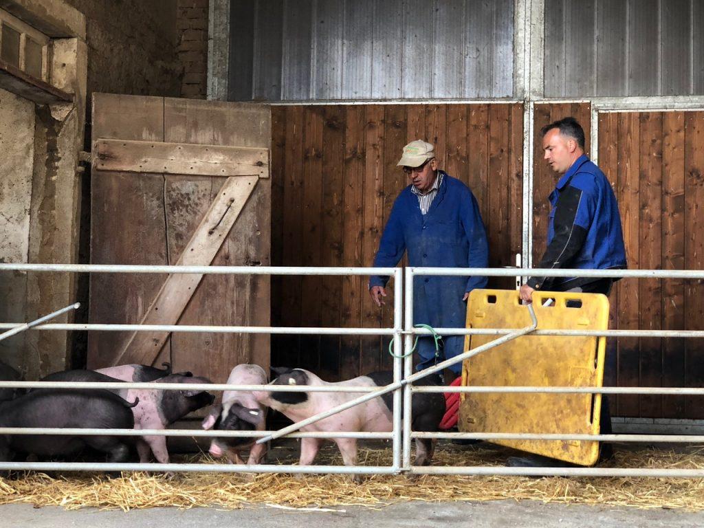 Bauer Henn mit Schwäbisch-Hällsichen Landschweinen