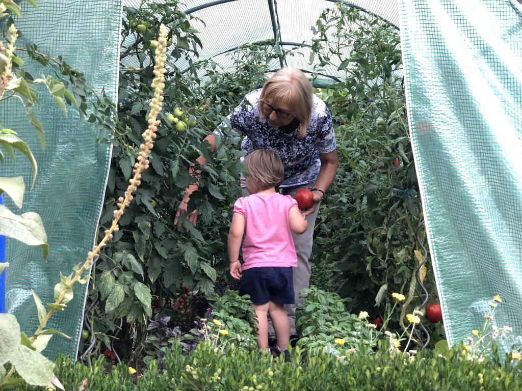 Großmutter und Enkelin ernten im Bauerngarten Tomaten.