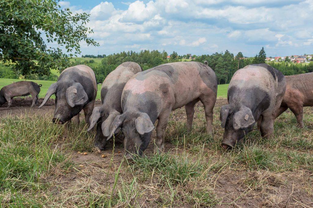 Eicheln schmecken den Schwäbisch-Hällischen Weideschweinen besonders gut.