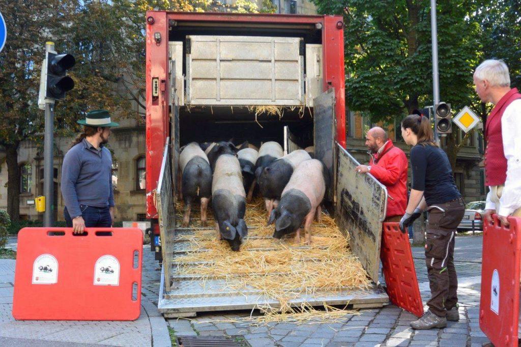 Am Morgen kommen die Schwäbisch-Hällischen Schweine in Stuttgart-Bad Cannstatt an. Hier werden sie in den Festumzug eingeschleust