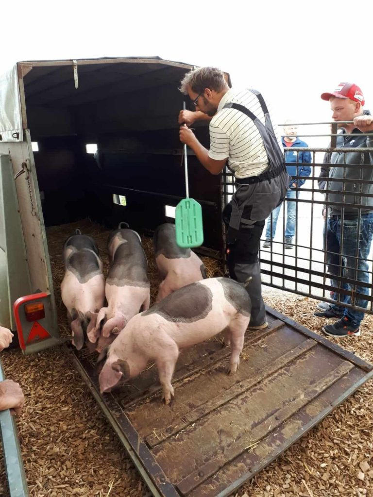 Landwirt Markus Ehrmann bringt die Tiere aufs Muswiesengelände.