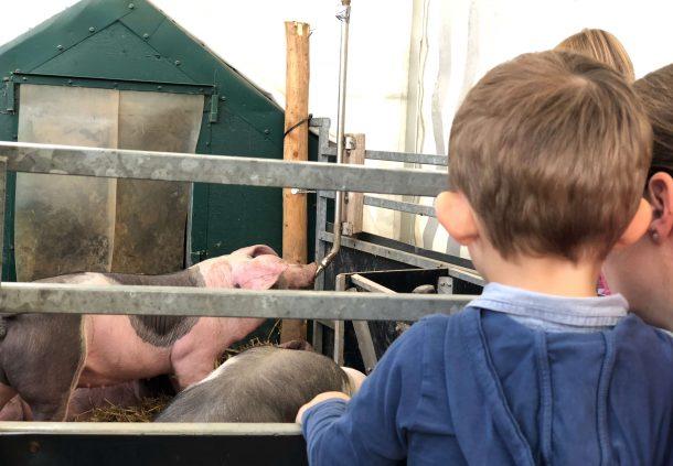 Schwäbisch-Hällische Schweine sind auf der Landwirtschaftsschau der Muswiese ausgestellt.