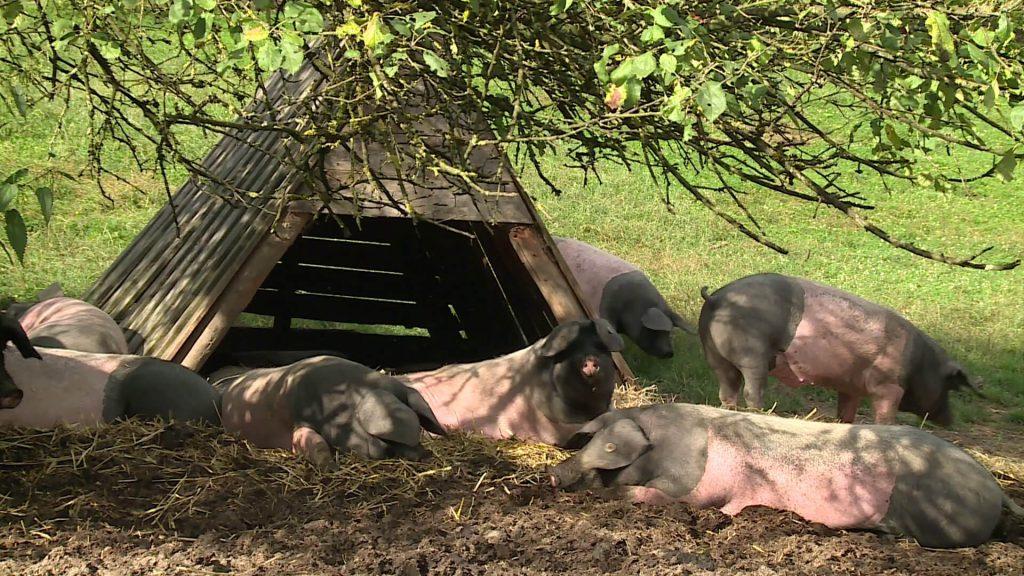 Artgerechte Schweinehaltung: Schwäbisch-Hällische Weidetiere